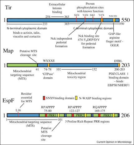 The modular nature of multifunctional LEE effector proteins. Tir, Map and EspF are the best-studied EPEC effectors and have been implicated in subverting multiple cellular processes. These proteins possess many eukaryotic-like motifs with many being assigned to elicit specific host cellular responses. Only those motifs/domains with proven and documented functions within the host cell are shown whilst chaperone binding sites or the N-terminal bacterial secretion and translocation signals are not shown. Other EPEC effectors are not shown because of the paucity of information regarding their functional domains. See text for abbreviations.