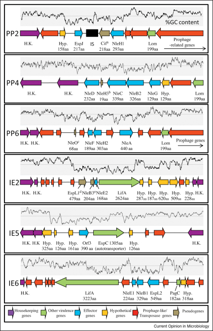 The six identified non-LEE effector encoding pathogenicity islands of EPEC E2348/69. Predicted effector genes were identified by mining the EPEC genome using over 400 known/predicted effector sequences. The identified effectors and genomic islands support the genome sequence published data (see text), from which the genomic island names were obtained. Only those genomic regions encoding the effectors and with low %GC content (graph above each island) are shown with most prophage-related genes surrounding these regions omitted. Genes and strand direction are shown by individual arrows which are drawn to scale within each island and colour coded (see inset). Multiple copies of genes are numbered according to close homologues in EHEC as explained in the legend to Table 1. Pseudogene key: (a) Cif; C-terminally truncated protein not produced or secreted in this EPEC strain [48]; (b) NleH3; C-terminal truncated; (c) NleO; no start codon; (d) EspL1; stop codon in middle of gene; (e) NleB3; N-terminal truncated.