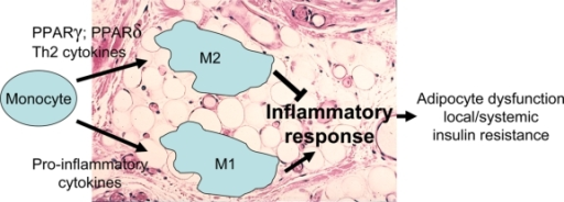 Monocytes that enter adipose tissue develop into adipose tissue macrophages (ATMs) that can be polarized in two ways: M2 macrophages respond to local Th2 cytokines to limit the inflammatory response, whereas M1 macrophages respond to local pro-inflammatory stimuli to promote local inflammatory responses and alter local adipocyte function. The peroxisome proliferator activated receptors PPARγ and PPARδ both promote M2 polarization; PPARγ plays incompletely defined roles in activation along the M2 pathway, whereas PPARδ is required for elaboration of the M2 phenotype.