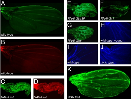 Prevention of apoptosis is associated with, but is not sufficient to induce, the failure of wing expansion.A–B. Wild-type wings are fully expanded and show GFP (A) or F-actin (B) staining only on the margin and along the veins, demonstrating that the adult wings are mostly dead structures. C–G. Downregulation of the Gs pathway by overexpression of Gαo (C, D) or by expression of RNAi constructs targeting Gβ13F (E), Gγ1 (F), or Gαs (G) leads to both failure of wing expansion and prevention of apoptosis, as visualized by persistence of F-actin- (D) and GFP-positive cells (C, E–G). H–J. DAPI nuclear staining. Overexpression of Gαo in aged wings leads to the DAPI staining pattern (J) characteristic of the young (ca. 1h-old, H) wild-type wings; aged wild-type wing only shows DAPI staining along the veins (I). K. Expression of the apoptosis inhibitor p35 prevents cell death throughout the wing as seen by persistence of GFP-positive cells, but does not cause the failure of wing expansion. All wings presented here are from MS1096-Gal4; UAS-GFP flies which are ≥1 day-old (except for the wing of panel (H)).