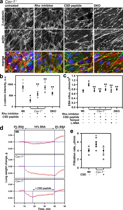 Restoration of normal paracellular permeability in Cav-1−/− endothelial monolayers and vessels by inhibition of either RhoA or eNOS. (a) Immunofluorescent staining of MLVECs isolated from Cav-1−/− and Cav-1/eNOS double knockout (DKO) mice for β-catenin (green), F-actin (red), and nuclei (blue). Cav-1−/− cells were treated with Rho inhibitor C3 transferase and AP-CSD peptide. Bar, 10 µm. (b) β-catenin accumulation at AJs as in Fig. 1 e; *, P < 0.01 as compared with Wt control; **, P < 0.01 as compared with Cav-1−/−; n = 10. (c) Endothelial permeability to EBA; mean and SEM are as in Fig. 1 e; *, P < 0.01 as compared with Wt control; **, P < 0.05 as compared with Cav-1−/−; n = 4. (d) Lung weight changes after a step increase in transvascular oncotic pressure gradient. Recordings were smoothed by averaging successive groups of five points. Lungs isolated from Wt and Cav-1−/− mice were perfused with 0% BSA for 10 min, with 10% BSA for 30 min, and with 0% BSA for 10 min; an additional Cav-1−/− group received AP-CSD peptide starting at 10 min of BSA profusion. AP-CSD peptide reversed lung weight loss during high albumin perfusion in Cav-1−/− lungs and largely restored the transvascular fluid filtration rate between 40 and 50 min. (e) The filtration rate was calculated from the initial slope of slow exponential component of lung weight gain; mean and SEM are as in Fig. 1 e; *, P < 0.05 as compared with Wt control; n = 5–9.