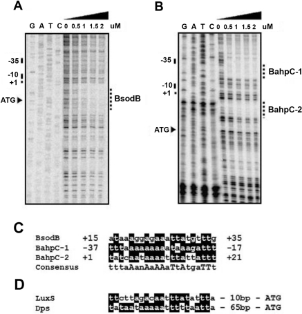 "DNase I footprinting of the sodB and ahpC promoter regions.The CosR binding sites in the promoter regions of sodB (A) and ahpC (B) were determined by DNase I footprinting assays. Based on previous studies [6], [9], the start codon (ATG), transcriptional start site (+1), and −10 and −35 regions of sodB and ahpC are indicated on the left. The CosR binding sites are indicated with dotted lines and labeled ""BsodB"" for the binding site in the sodB promoter and ""BahpC-1 and BahpC-2"" for the two binding sites in the ahpC promoter. (C) Alignment of CosR binding sequences for sodB and ahpC. Nucleotide sequences of the CosR binding sites determined from panel (A) and (B) were compared. (D) Prediction of putative CosR binding sites in the regulatory region of dps and luxS genes based on homology to the CosR-binding sequence described in panel (C). Highly conserved nucleotides are shaded on black background, and identical nucleotides are indicated in capital letters."