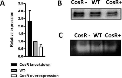 "Negative regulation of sodB by CosR.(A) qRT-PCR analysis of sodB transcription. Results are expressed as the mean and standard deviation from three independent experiments. (B) sodB transcription determined by primer extension assays at different CosR levels. The doublet bands show two sodB transcriptional start sites in C. jejuni, and the top band is the major. ""CosR−"" and ""CosR+"" indicate CosR knockdown and CosR overexpression, respectively. (C) Enzymatic activity of SodB at different CosR levels. In these experiments, CosR knockdown was achieved with 1.5 µM CosR-PNA. These results show the representative of three independent experiments."