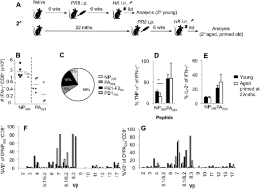 Priming at an extreme age leads to normal secondary influenza-specific CD8+ T cell responses.(A) For the secondary responses of the old-primed mice, naïve B6 mice were i.p. primed with 1.5×107 pfu of the PR8 virus either at 6 weeks of age (young mice) or at 22 months (primed late aged mice), followed by a secondary i.n. challenge with 1×104 pfu of the HK influenza strain 6 weeks later. (B) The magnitude of CD8+ T cell responses in the spleen at the peak (d8) of secondary phase following influenza virus infection are shown for young (6–8 weeks) and aged (22 months old) B6 mice. Immunodominant DbNP366+ and DbPA224+ influenza-specific CD8+ T cell responses were assessed by IFN-γ production in an ex vivo ICS assay. (C, D) Polyfunctionality of influenza-specific CD8+ T cell responses was assessed by simultaneous production of IFN-γ, TNF-α and IL-2 in the spleen and of young and aged mice. (E) The contribution of immunodominant DbNP366+CD8+ and DbPA224+CD8+ T cell responses in comparison to subdominant DbPB1703+CD8+ and KbPB1-F262+CD8+ sets was calculated based on the proportions of IFN-γ+CD8+ populations depicted in (B for DbNP366+CD8+ and DbPA224+CD8+ and data not shown for DbPB1703+CD8+ and KbPB1-F262+CD8+). TCR Vβ usage for the (F) DbNP366 and (G) DbPA224 CD8+ sets in the spleen of recall responses of mice primed late. TCR Vβ results represent individual mice of 3 per group. * = p<0.05.