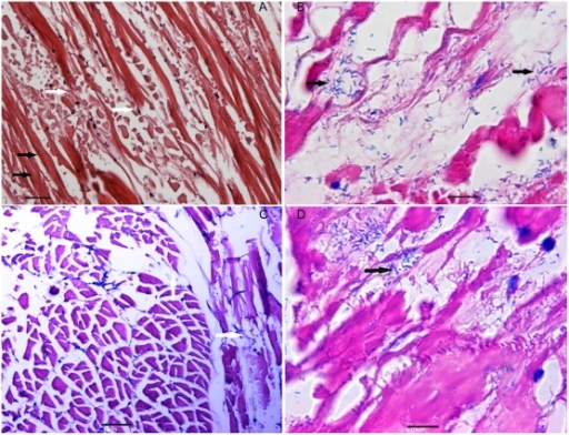 Histopathological changes in whitish muscles.(A and C) Normal (black arrows) and broken muscle fibers (white arrows). (B and D) Coagulative to liquefactive muscle necrosis and infiltration of a great number of rod-shaped bacteria (black arrows). Tissue A and B were sampled from L. vannamei shrimp with a WTD-like disease in the farm, while tissue C and D were sampled from L. vannamei shrimp laboratory-infected with the V. harveyi strain HLB0905(A: bar = 35 µm; B, C and D: bar = 10 µm).