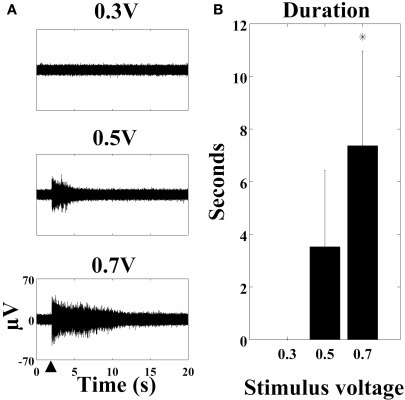 The stimulus-evoked oscillation is voltage-dependent. (A) SALPA filtered recordings (cortical culture age six weeks) with stimulus of 0.3 V, 0.5 V, and 0.7 V at the large black arrowhead. (B) The duration in seconds of the oscillation is longer with higher voltages (n = 57 electrodes from four cultures: one cortical and three hippocampal, *p < 0.001). 1 μM TTX was present in the medium. Error bars: standard deviation.