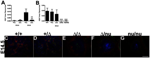 Thymic vascularization is sensitive to Foxn1 levels.Quantification of CD31+/Thymus Area from immunostained frozen sections of embryonic thymi (A) E12.5 Foxn1+/Δ (n = 8) and Foxn1Δ/Δ (n = 6); p>0.05 and E13.5 Foxn1+/Δ (n = 5) and Foxn1Δ/Δ (n = 7); p<0.001. (B) E14.5 Foxn1+/+ (n = 7), Foxn1+/Δ (n = 8); p>0.05, Foxn1Δ/Δ (n = 10); p>0.05, Foxn1Δ/nu (n = 9); p = <0.0001, Foxn1nu/nu (n = 6); p<0.0001. (C–G) CD31+ endothelial cells (green) and PDGFR-β+ neural crest mesenchyme (red) can be detected in the thymic capsule and inside the keratin-positive thymus (blue) in E14.5 (C) Foxn1+/+ (D) Foxn1+/Δ (E) Foxn1Δ/Δ (F) but in the capsule only in Foxn1Δ/nu (G) and Foxn1nu/nu mice. Scale bar, 100 µm; n = 3.