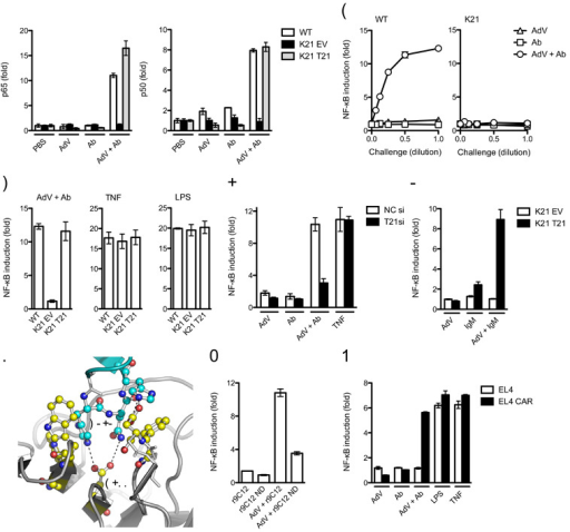 TRIM21 senses intracellular Ab-bound virus(a) DNA binding ELISA showing NF-κB subunits p65 and p50 binding to consensus oligonucleotides 4 h post challenge of wild-type (WT) MEFs or Trim21-deficient MEFs transduced with empty vector (K21 EV) or expressing human Trim21 (K21 T21) with PBS, anti-adenovirus monoclonal antibody 9C12 (Ab), adenovirus (AdV) or adenovirus-antibody complex (AdV + Ab). (b) Induction of NF-κB luciferase reporter activity in wild-type or Trim21-deficient (K21) MEFs 7 h after challenge with a serial dilution of goat anti-adenovirus, AdV or adenovirus-antibody complex over PBS-treated controls. (c) Induction of NF-κB luciferase reporter activity in wild-type, Trim21-deficient and Trim21-deficient cells expressing human TRIM21. (d) Induction of NF-κB luciferase reporter activity in HeLa cells or HeLa cells depleted of TRIM21 by siRNA. Ab is pooled human serum IgG. (e) Induction of NF-κB luciferase reporter activity after challenge of Trim21-deficient MEFs transduced with empty vector or human TRIM21 with AdV, human serum IgM or AdV + IgM complex. (f) Hot-spot interactions between IgG Fc (cyan) and TRIM21 PRYSPRY domain (yellow) required for complex formation (based on PDB structure 2IWG). (g) Induction of NF-κB luciferase reporter activity in wild-type MEFs challenged with AdV incubated with recombinant 9C12 (r9C12) or point mutant N434D (r9C12 ND). (h) Induction of NF-κB luciferase reporter activity in AdV non-permissive EL4 cells and AdV permissive EL4 CAR 7 h after challenge. For panels a-e, g, h error bars represent SEM from three replicates.