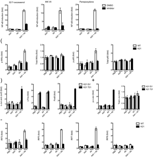 TRIM21 signaling is dependent upon TAK1 and stimulates κB, AP-1 and IRF pathways(a) NF-κB luciferase induction in wild-type MEF cells when treated with DMSO or inhibitors 7 h post challenge with AdV, Ab or AdV + Ab. (b) ELISA showing induction of phosphorylated (p-) and total IKKα (Ser176 and Ser180) and p65 (Ser536) 4 hours post-challenge of wild-type (WT) or Trim21-deficient (K21) MEF cells. (c) DNA binding ELISA showing of induction of AP-1 components binding to consensus oligonucleotides 4 h post challenge of Trim21-deficient MEF cells transduced with empty vector (K21 EV) or human TRIM21 (K21 T21). (d) ELISA showing phosphorylated (Ser73) and total c-Jun induction after treatment with indicated stimuli in Trim21-deficient MEF cells or Trim21-deficient MEF cells transduced with human TRIM21. (e) DNA binding ELISA showing induction of IRF3, IRF5, IRF7 and IRF8 binding to DNA response elements 4 h post-infection in wild-type and Trim21-deficient MEF cells. For all panels, error bars represent SEM from three replicates.
