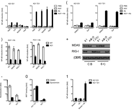 TRIM21 signaling is independent of TLR, FcR, ADIN and PAMPs(a) NF-κB luciferase reporter induction in Trim21-deficient MEFs expressing empty vector (K21 EV) or human TRIM21 (K21 T21) with control or inhibitor peptides of TLR signaling pathway components MyD88 and TRIF. (b) NF-κB luciferase reporter induction in MEFs after treatment with DMSO or an inhibitor of FcR kinase Syk. (c) NF-κB luciferase reporter induction in wild-type (WT) or Trim21-deficient MEFs after control (NC), MDA-5-directed or RIG-I-directed siRNA treatment by antibody-coated AdV or FCV. (d) Immunoblot for MDA-5, RIG-I and β–actin from wild-type or Trim21-deficient MEFs after control, MDA-5-directed or RIG-I-directed siRNA treatment. (e) Fold neutralization of adenovirus, measured as relative infectivity of PBS-treated AdV over 9C12-treated AdV on wild-type and Trim21-deficient MEFs following treatment with proteasome inhibitor epoxomicin or DMSO. (f) DNA binding ELISA showing induction of IRF7 activation over PBS-treated controls in DMSO or epoxomicin treated Trim21-deficient MEFs expressing empty vector or human TRIM21 4 h after challenge with AdV + Ab. (g) NF-κB luciferase reporter induction in Trim21-deficient MEFs expressing empty vector or human TRIM21 following transfection of biotin beads, anti-biotin Ab or complexed beads and Ab. Error bars in panels a-c, e, g represent SEM of three replicates.