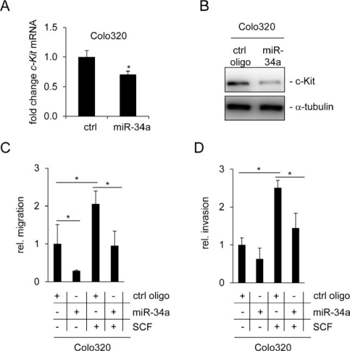 "miR-34a inhibits basal and SCF-induced migration and invasion of Colo320 cells(A) Colo320 CRC cells were transfected either with a control (ctrl) or a miR-34a oligonucleotide for 48 hours. qPCR analysis was used to determine c-Kit mRNA levels. (B) Detection of c-Kit protein levels by Western blot analysis 48 hours after oligonucleotide transfection. α-tubulin served as loading control. (C) Colo320 cells were transfected with the indicated oligonucleotides and simultaneously treated with SCF (or water) for 24 hours. Thereafter cells were seeded into Boyden chambers to determine migration. (D) Determination of invasion using a Boyden chamber assay. Cells were treated as in (C). (A,C,D) Results represent the mean +/−S.D. (n=3) and significance was calculated applying a Student's t-test."" * "": p < 0.05."