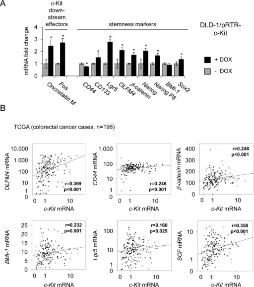"Ectopic c-Kit induces expression of stemness markers and correlates with their expression in primary CRC(A) DLD-1/pRTR-c-Kit cells were treated with DOX for 48 hours. Expression of the indicated mRNAs was determined by qPCR. Results represent the mean +/−S.D. (n=3)."" * "": p < 0.05. (B) mRNA expression data derived from primary CRC samples (n = 196) were obtained from the public database TCGA [54]. Correlation coefficients and p-values were calculated applying the Spearman correlation algorithm. Scatter plots show the respective correlations. Both, the c-Kit levels on the x-axes and the y-axes of the OLFM4, CD44, Lgr5 and SCF mRNA expression values are provided as log10 scale."