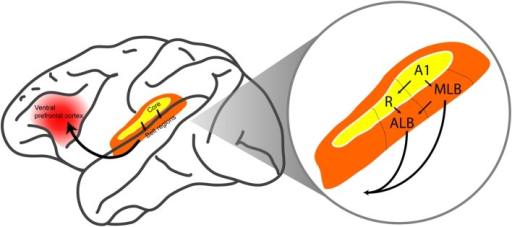 The ventral auditory pathway in the monkey brain. The ventral auditory pathway begins in core auditory cortex (in particular, the primary auditory cortex A1 and the rostral field R). The pathway continues into the middle-lateral (MLB) and anterolateral (ALB) belt regions, which project directly and indirectly to the ventral prefrontal cortex. Arrows indicate feedforward projections. The figure is modified, with permission, from Hackett et al. (1998) and Romanski et al. (1999a).
