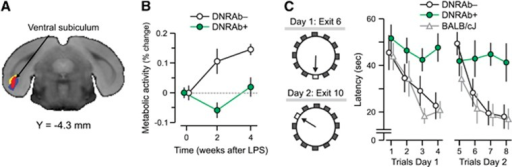 Panel A shows a voxel-based comparison of 18F-fluorodeoxyglucose positron emission tomography images for mice carrying DNRAbs and controls. The strictly data-driven comparison of mice carrying DRNAbs (DNRAb+) and control (DNRAb−) mice reveals a single cluster in the ventral subiculum and entorhinal cortex (red) in which the metabolic changes significantly differ for the two groups over time. The red cluster in panel A was obtained by a statistical parametric mapping interaction analysis of two groups × two time points (0, 4 weeks) (voxel-wise P⩽0.01, k⩾220, cluster corrected P<0.05). The yellow cluster was obtained by a statistical parametric mapping interaction analysis of two groups × three time points (0, 2, 4 weeks) (voxel-wise P<0.005, k>500, cluster corrected P<0.05). The blue cluster was obtained by a statistical parametric mapping comparison of 0 and 2 weeks for the DNRAb+ mice (voxel-wise P<0.001, k>640, cluster corrected P<0.05). The significant clusters from these three analyses were located in the ventral subiculum and entorhinal hippocampus and overlapped in this region. (B) Before LPS administration at baseline (0 weeks), resting metabolism in this region is equivalent in the DNRAb− (circles) and DNRAb+ (triangles) groups. The DNRAb+ mice show decreased regional metabolism 2 weeks after LPS administration that is reversed by 4 weeks after LPS injection. In contrast, the DNRAb− mice demonstrate continuously increasing regional metabolism from 0 weeks through 2 and 4 weeks. Of note, the rate of metabolic increase between 2 and 4 weeks was relatively faster in DNRAb+ mice (0.4/week) than for DNRAb− mice (0.2/week). There was a significant difference in the metabolic changes between the two groups over time (group × time interaction effect: F[2,36]=4.8, P=0.01; two-way repeated measures analysis of variance (RMANOVA) on the data at all three time points). Further analyses revealed that this interaction effect occurred in the first 2 weeks after the injection (group × time interaction effect: F[1,18]=6.73, P=0.02; two-way RMANOVA on the data at baseline and 2 weeks ), but not over the subsequent 2 weeks (group × time interaction effect: F[1,18]=0.44, P=0.52; two-way RMANOVA on the data at 2 and 4 weeks). (C) DNRAb+ mice (n=10) and DNRAb− controls (n=10) were tested in the clock maze task 8 weeks post-LPS administration. DNRAb+ mice had impaired spatial memory F[2,7]=6.8, P=0.02, analysis of variance). A cohort of unmanipulated BALB/c mice was also tested. There was no difference between this cohort and the DNRAb− mice.