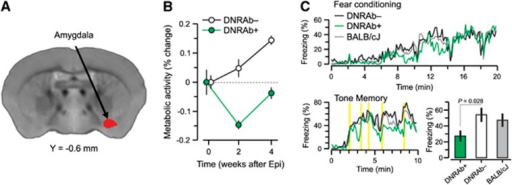 Panel A shows a voxel-based comparison of 18F-fluorodeoxyglucose positron emission tomography images for mice carrying DNRAbs and controls. The strictly data-driven comparison of mice carrying DRNAbs (DNRAb+) and control (DNRAb−) mice reveals a single cluster in the amygdala (red) in which the metabolic changes significantly differ for the two groups over time. The red cluster in panel A was obtained by a statistical parametric mapping interaction analysis of two groups × two time points (0, 4 weeks) (voxel-wise P<0.005, k>370, cluster corrected P<0.05). (B) Before epinephrine administration at baseline (0 weeks), resting metabolism in this region is equivalent in the DNRAb− (circles) and DNRAb+ (triangles) groups. The DNRAb+ mice show decreased regional metabolism 2 weeks after epinephrine administration that is reversed by 4 weeks after epinephrine injection. In contrast, the DNRAb− mice demonstrate continuously increasing regional metabolism from 0 weeks through 2 and 4 weeks. Of note, the rate of metabolic increase between 2 and 4 weeks was relatively faster in DNRAb+ mice (0.4/week) than for DNRAb− mice (0.2/week). There was a significant difference in the metabolic changes between the two groups over time (group × time interaction effect: F [2,36]=9.59, P⩽0.001; two-way repeated measures analysis of variance (RMANOVA) on the data at all three time points). Furthermore, this interaction effect was present in the data at baseline and 2 weeks after the injection (group × time interaction effect: F[1,18]=10.76, P=0.005; two-way RMANOVA), but was absent between 2 and 4 weeks (group × time interaction effect: F[1,18]=0.10, P=0.75; two-way RMANOVA on the data at the last two time points). (C) Profile of freezing response. DNRAb+ mice (n=10) and DNRAb− controls (n=10) were tested in an associative learning fear paradigm 8 weeks post-epinephrine administration. DNRAb+ mice had impaired associative learning of the fear response in the tone memory test (P=0.0007, t-test). A cohort of unmanipulated BALB/c mice was also tested and their behavior was not different from the behavior of DNRAb− mice.