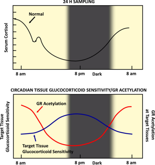 CLOCK-mediated gene-specific regulation of glucocorticoid action in peripheral target tissues. Circulating cortisol concentrations in humans fluctuate diurnally, as indicated in the top panel. The expression of glucocorticoid-target genes is also expected to fluctuate depending on the changes of circulating cortisol concentrations. However, this diurnal fluctuation of gene expression is suppressed through acetylation of GR by locally expressed CLOCK/BMAL1 heterodimers, possibly functioning as a local counter-regulatory feedback loop to the circulating glucocorticoids. Thus, high levels of acetylated GR in the morning are associated with low target-tissue sensitivity to glucocorticoids and vice versa in the evening and early night. Modified from Reference [56].
