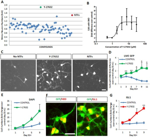 The ROCK inhibitor Y-27632 increases human motor neuron numbers in hESC-derived motor neuron cultures.(A) Screening of 160 compounds for their potential to increase the number of human motor neurons in hESC cultures at day 31+13. Compounds were tested in quadruplicate at a single concentration (10 µM). Values are plotted as mean fold difference in motor neuron numbers relative to the negative control condition (No NTFs). The Rho-kinase (ROCK) inhibitor Y-27632 was the compound showing the highest capacity to increase the number of human motor neurons. (B) Y-27632 increases the number of fluorescent hESC-motor neurons in mixed cultures in a dose-dependent manner. Cells were cultured in the absence of neurotrophic factors and in the presence of increasing concentrations of Y-27632. Values shown as mean ± s.e.m., n = 4. (C) Representative images of hESC-motor neuron cultures at day 31+13 grown under neurotrophic factor deprivation (No NTFs), neurotrophic factor supplementation (NTFs + F + I) and Y-27632 (10 µM). Scale bar = 25 µM. (D) Time-dependent increase in the number of motor neurons in the presence (green) but not absence (blue) of Y-27632 (10 µM), with a peak effect at day 31+9. Values shown as mean ± s.e.m., n>5 (t-test, *p<0.05; **p<0.01). (E) Y-27632 also increases the total number of cells in culture. Mean ± s.e.m., n = 3. (F) Hb9::GFP-positive neurons continue to express motor neuron markers HB9 and ISL1 after treatment with Y-27632 for 9 days. Scale bar = 50 µM. (G) Supplementation of cultures with Y-27632 (red line) leads to increased numbers of human motor neurons expressing endogenous ISL1 at day 31+9. Mean ± s.e.m., n = 3 (**p<0.01).