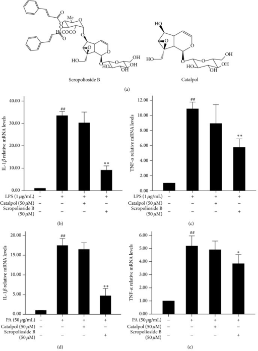 Different chemical structures of scropolioside B and catalpol. (a) The effects of scropolioside B and catalpol on LPS-induced expression of IL-1β and TNF-α in THP-1 cells. THP-1 cells were pretreated with 50 μmol/L catalpol or scropolioside B for 1 h and then stimulated with LPS (1 μg/mL) for another 24 h. ((b)-(c)) The effects of scropolioside B and catalpol on PA-induced expression of IL-1β and TNF-α in THP-1 cells. THP-1 cells were pretreated with 50 μmol/L catalpol or scropolioside B for 1 h and then stimulated with PA (50 μg/mL) for another 24 h. ((d)-(e)) The expression of IL-1β and TNF-α mRNA was measured by RT-PCR. The data represent the mean values of over three experiments ± SD. ##P < 0.01 compared to vehicle control, **P < 0.01 compared to LPS or PA alone. #P < 0.05 compared to vehicle control, *P < 0.05 compared to LPS or PA alone.