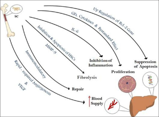Role and mechanism of bone marrow stem cells in liver repair and regeneration. VEGF, vascular endothelial growth factor; MMP-9, matrix metalloproteinase-9; IL-6, interleukin-6; GFs, growth factors