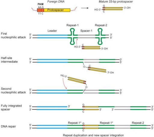 Model of protospacer integration during CRISPR–Cas adaptive immunityThe first nucleophilic attack occurs on the minus strand of the first repeat, distal to the leader, by the C 3'-OH end of the protospacer. After half-site intermediate formation, the second integration event occurs on the opposite strand at the leader-repeat border. The resulting single-stranded DNA gaps are repaired by yet uncharacterized mechanisms and the protospacer is fully integrated with the G as the first nucleotide at its 5' end. The asterisk denotes the duplication of the first repeat, as previously observed in vivo13-15.
