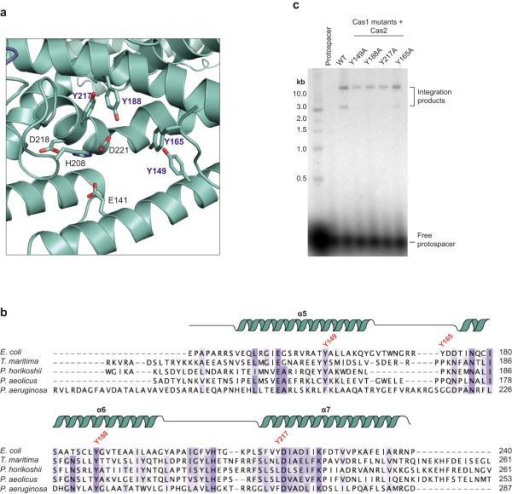 Cas1–Cas2 can integrate various lengths of double-stranded DNA with blunt- or 3'-overhang ends into a supercoiled target plasmida, Integration assays using the indicated lengths of protospacer DNA. b, Integration assays using varying 5' or 3' overhang lengths. c,d, A comparison of integration assays using pCRISPR or Nb.BbvCI-nicked pCRISPR target. e, Integration assay using different target plasmids with or without a CRISPR locus. The green arrows correspond to the relaxed product of each target and the cyan arrows correspond to the Band X product. The data presented in a-e are representative of at least three replicates.