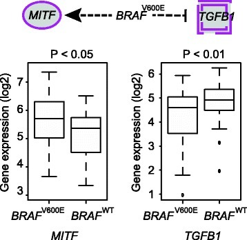 MITFandTGFB1dysregulated byBRAFV600Edriver mutation in primary tumor samples. Boxplots show significantly higher expressions of MITF but lower expressions of TGFB1 in BRAFV600E, as compared to BRAFWT samples.