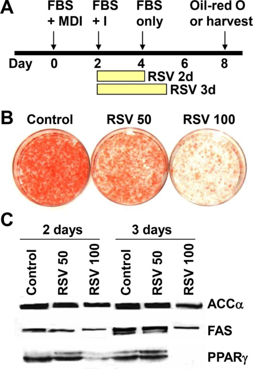 Resveratrol inhibits lipogenesis in 3T3-L1 adipocytes. (A) Confluent 3T3-L1 preadipocytes were induced to differentiate as described in Materials and Methods. After 2 days of differentiation, 3T3-L1 cells were treated with various amounts of resveratrol (a, 0.1% DMSO; b, 50 μM; c, 100 μM) for 3 days. After 8 days, cells were fixed in formaldehyde, and stained with oil Red-O to determine the degree of adipocyte differentiation. (B) Resveratrol represses the expression of adipogenic gene in 3T3-L1 adipocytes. Confluent 3T3-L1 preadipocytes were induced to differentiate as described. After 2 days of differentiation, 3T3-L1 cells were treated with various amount of resveratrol for 2 or 3 days and total cell extracts were prepared at the indicated time for Western blot analyses.