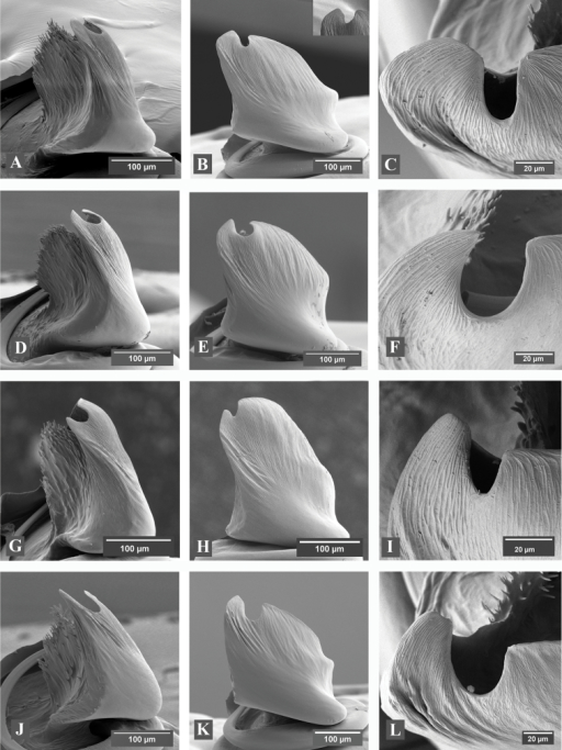 A–L Scanning electron micrographs of Eresus male palps: A–CEresushermani (Sas-hegy, Budapest, Hungary) D–FEresusmoravicus (Örkény-Táborfalva-Tatárszentgyörgy, Hungary) G–IEresuskollari (Farkas-hegy, Budaörs, Hungary) J–LEresussandaliatus (Aulum, Denmark) A, D, G, J ventral B, E, H, K lateral and C, F, I, L apical view; inset in B: a variant of conductor tip with unusually wide groove (Sas-hegy, Budapest, Hungary).
