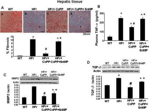 Effect of induction of HO-1 (CoPP) and inhibition of HO (SnMP) on hepatic fibrosis, markers of hepatic fibrosis in mice fed high-fructose diet for 20 weeks.(A) Masson's trichrome staining in liver and quantitative analysis of WT, high fructose, high fructose treated with CoPP, and high fructose treated with CoPP and SnMP, magnifications: 40× (n = 4) (* Indicates fibrosis). A representative section for each group is shown. (B) Plasma TNFα levels. (C) MMP2 protein expression and (D) TGFβ protein expression on western blot analysis. Data are shown as mean band density normalized to β-actin. Results are mean±SE, n = 4/group. * p<0.05 vs CTR; # p<0.05 vs HFr, + p<0.05 vs HFr+CoPP.