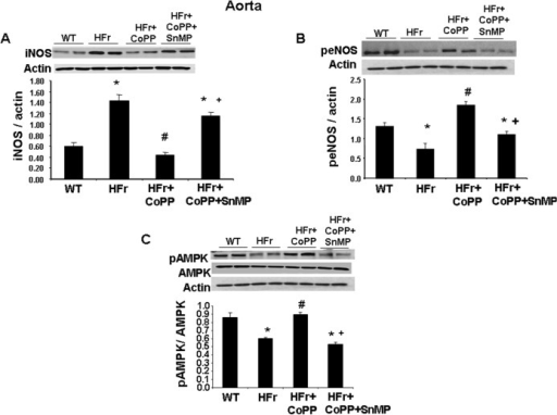 Effect of induction of HO-1 (CoPP) and inhibition of HO (SnMP) in mice fed a high fructose diet for 8 weeks on western blot and densitometry analysis of aortic tissue.(A) iNOS protein expression. (B) peNOS protein expression and (C) pAMPK protein expression. Data are shown as mean band density normalized to β-actin. Results are mean±SE, n = 4/group. * p<0.05 vs CTR; # p<0.05 vs HFr, + p<0.05 vs HFr+CoPP.