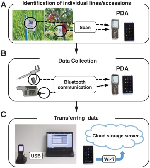 Flowchart of WIPPER. (A) A personal devise assistant (PDA) identifies the line/accession to be phenotyped upon scanning its barcode. (B) Data are collected by PDA via Bluetooth wireless communication. Black circles indicate the Bluetooth connector enabling each electric or digital phenotyping device to transfer data to the PDA by Bluetooth communication. (C) The data in PDA are exported to a storage environment via a USB connecter or Wi-Fi.