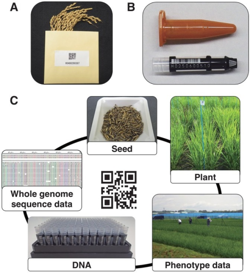 The application of WIPPER for an integrated germplasm and data management towards rapid genetic analysis. (A) Rice seeds stored in envelopes. Each envelope is labeled with a barcode containing all the necessary information about the line/accession. (B) DNA samples stored in barcoded tubes. (C) The concept of an integrated data management. For each line/accession, the same barcode or number is used to identify its phenotypic data, seeds, DNA sample, as well as genotyping data including whole genome sequences.