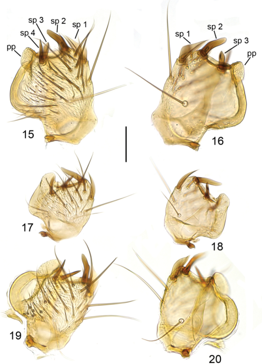 Ventral branch of gonostylus, ventral view (15, 17, 19) and internal view (16, 18, 20). 15, 16Mycetophilabritannica17, 18Mycetophilaidonea19, 20Mycetophilaichneumonea. Scale bar = 0.05 mm. Abbreviations: pp = posterior process; sp = posterior spines on the ventral branch of gonostylus.