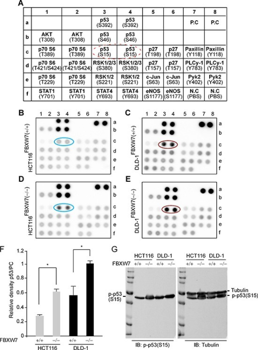 Human phospho-kinase-profiler-array (HPKPA) revealed induction of phospho-p53(Ser15) in FBXW7- human CRC cells [FBXW7(−/−) vs. FBXW7(+/+)](A) Schematic representation of the coordinates of the pre-coated phospho-specific antibodies in duplicate in a nitrocellulose-membrane. Dashed red-circle highlights the antibody position for phospho-p53(Ser15). (B-E) Outcome overview of the HPKPA using human CRC-cells expressing and lacking FBXW7; FBXW7-deficient HCT116 (D) and DLD-1 (E) cells [FBXW7(−/−)], compared to parental HCT116 (B) and DLD-1 (C) cells [FBXW7(+/+)]. (F) The expression of phospho-p53(Ser15) protein was significantly increased. Scanned values obtained using transillumination scanner of phospho-p53(Ser15) and Positive Controls (PCs) spots as corresponding to HCT116 and DLD-1 cell lines in B-E. The results shown are representative of experiments performed at three independent times. (G) Phospho-p53(Ser15) expressions was analyzed by Western blotting analysis. Protein extracts isolated from HCT116 and DLD-1 cell lines with FBXW7(−/−) and FBXW7(+/+) alleles were Western blotted for phospho-p53(Ser15) antibody and Tubulin (loading control).