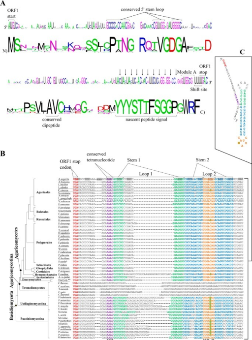 Conservation of antizyme mRNA sequences from Basidiomycota, and their encoded products.A, an alignment of 35 ORF1 antizyme mRNA sequences was used to generate the nucleotide and amino acid logos shown here. Of these sequences, 34 belong to Agaricomycetes, and 1 belongs to Dacrymycetes (supplemental Sequence List S1). Starting from the 3′ end of the nucleotide logo indicated are the ORF1 stop codon, the shift site, the sequence of module A, and the conserved peptide encoding region. Other conserved features more distal to the shift site, such as a conserved dipeptide and a conserved 5′ stem loop, are also indicated. The gaps in the logos indicate that each nucleotide or amino acid residue occurs with equal probability at the corresponding position. B, alignment of 54 Basidiomycotal antizyme mRNA sequences 3′ of the shift site. The region shown here contains the conserved 3′ RNA structure. The nucleotide variations in loop 2 are highlighted in green. The correct reading frame is indicated in the first sequence of the alignment. The absolutely conserved four nucleotide sequence abutting stem 1 are shown in magenta. Completely conserved nucleotides are indicated by an asterisk below the alignment. The four sequences of the Tremellomycetes class that lack the potential RNA structure were left uncolored and were not taken into account when analyzing the alignment. The underlined names are of the sequences used for the alignments in Fig. 2A. The scheme of the phylogenetic tree was adapted from the work of Floudas et al. (41) and is not intended to indicate precise evolutionary distances and scales. P.taeda* refers to an EST derived from a Pinus taeda library that is an Agaricomycetes contaminant of unknown identity. Dacryop.** stands for Dacryopinax sp. C, the predicted secondary structure of the putative RNA stimulator, inferred from the alignment, featuring the C. cinerea mRNA sequence; the coloring corresponds to that of the alignment.