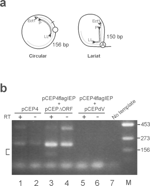 Identification of the spliced form of RmInt1 in FLAG-immunoprecipitate from transfected HeLa cell.(a) Representation of the PCR products obtained from the spliced intron as a circle or lariat. The circled A is the bulged adenosine residue in domain VI. (b) RT-PCR products were subjected to electrophoresis in a 2% agarose gel. PCR was performed with (+) or without (−) prior reverse transcription (RT), with the immunoprecipitates indicated. The area in which the DNA fragments were isolated is indicated by a square bracket. Other unspecific PCR products likely derived from contaminant genomic DNA was also observed. M: molecular weight marker; the numbers on the right indicate the size of the marker band in base pairs.