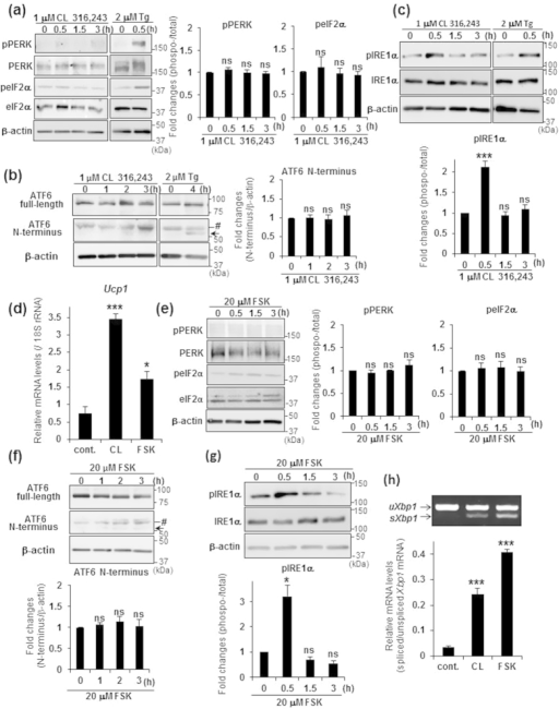 IRE1α was predominantly activated by treatment with β3-AR agonist or forskolin.(a–c) WB analysis of PERK, eIF2α (a), ATF6 (b), and IRE1α (c) in brown adipocytes treated with either 1 μM CL 316,243 or 2 μM Tg for indicated time periods. Black arrow and Mark (#) indicate ATF6 N-terminus and non-specific detections, respectively. β-actin was used as a loading control. Graphs show the ratio of phosphorylated to total PERK, eIF2α, or IRE1α, and the amount of ATF6 N-terminus. Note that phosphorylation of IRE1α was significantly increased by treatment with CL 316,243. Differences with and without treatment were analyzed by Student's t-test. Data are mean ± S.D. (n = 4), ***P < 0.001, ns: not significant. (d) Real-time PCR analysis of Ucp1 in brown adipocytes treated with either 1 μM CL 316,243 (CL) or 20 μM forskolin (FSK) for 3 h. Differences with and without treatment were analyzed by Student's t-test. Data are mean ± S.D. (n = 3), *P < 0.05, ***P < 0.001. cont.: control. (e–g) WB analysis of PERK, eIF2α (e), ATF6 (f), and IRE1α (g) in brown adipocytes treated with 20 μM FSK for indicated time periods. Black arrow and Mark (#) indicate ATF6 N-terminus and non-specific detections, respectively. β-actin was used as a loading control. Graphs show the ratio of phosphorylated to total PERK, eIF2α, or IRE1α, and the amount of ATF6 N-terminus. Differences with and without treatment were analyzed by Student's t-test. Data are mean ± S.D. (n = 4), *P < 0.05, ns: not significant. (h) RT-PCR analysis of Xbp1 in brown adipocytes treated with either 1 μM CL 316,243 (CL) or 20 μM forskolin (FSK) for 3 h (upper panel). Lower graph is the quantification of Xbp1 splicing levels. Differences with and without treatment were analyzed by Student's t-test. Data are mean ± S.D. (n = 3), ***P < 0.001. cont.: control.