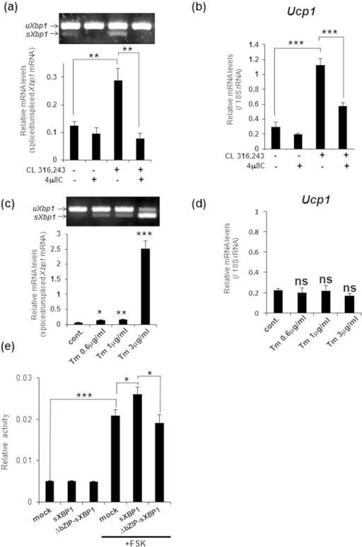 The IRE1α-XBP1 pathway plays a crucial role in the transcriptional induction of Ucp1.(a) RT-PCR analysis of Xbp1 in brown adipocytes that were pre-treated with 30 μM 4 μ8 C for 30 min and then stimulated with 1 μM CL 316,243 for 3 h (upper panel). Lower graph is the quantification of Xbp1 splicing levels. (b) Real-time PCR analysis of Ucp1 in brown adipocytes treated with 4 μ8 C and CL 316,243 described as (a). Note that treatment with 4 μ8 C significantly decreased Ucp1 expression induced by CL 316,243. Data are mean ± S.D. (n = 5), **P < 0.01, ***P < 0.001. (c) RT-PCR analysis of Xbp1 in brown adipocytes that were treated for 3 h with tunicamycin (Tm) at the indicated concentrations (upper panel). Lower graph shows the quantification of Xbp1 splicing levels. (d) Real-time PCR analysis of Ucp1 in brown adipocytes treated with Tm described as (c). Differences with and without treatment were analyzed by Student's t-test. Data are mean ± S.D. (n = 3), *P < 0.05, **P < 0.01, ***P < 0.001, ns: not significant, cont.: control. (e) Luciferase assay using C3H10T1/2 cells that were transfected with vectors expressing sXBP1 or ΔbZIP-sXBP1, and then treated with 20 μM forskolin (FSK) for 8 h. Note that the increase in the reporter activity by sXBP1 expression and FSK treatment was higher than the activity by FSK treatment alone. Data are mean ± S.D. (n = 6), *P < 0.05, ***P < 0.001.