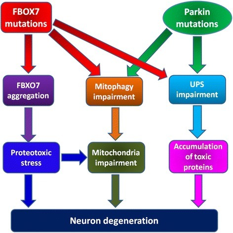 Potential pathogenesis of FBXO7 and Parkin mutations induced neuron degeneration in PD. FBXO7 mutations can lead to deleterious FBXO7 protein aggregation, inhibition of mitophagy process and impairment of FBXO7-linked UPS functions. Mutant FBXO7 proteins can form stress dependent toxic protein aggregates in mitochondria. The impaired mitophagy will also impair mitochondria functions. Besides, the impairment of FBXO7-linked UPS function may lead to accumulation of some toxic FBXO7 targets. All these alterations may converge and contribute to FBXO7 mutations induced neuron degeneration in PARK15. However Parkin mutations induced mitophagy impairment and accumulation of toxic Parkin targets may contribute to neuron degeneration in PARK2