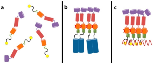 Schematic depiction of changes in Gag leading to assembly. (a) Gag contains several domains: matrix (MA, purple), the N-terminal domain of capsid (CA, red), the C-terminal domain of CA (orange), spacer 1 (SP1) (green), nucleocapsid (NC, yellow), and spacer 2 (SP2) and p6 (not shown). SP1 is unstructured in free Gag; (b) When NC is replaced by a dimerizing leucine zipper (blue cylinders), the dimerization mediated by the zipper induces SP1 to fold into a helical conformation. We propose that this leads to the appearance of new interfaces within CA for Gag–Gag interaction; (c) Gag molecules can also be brought into close proximity by binding cooperatively to an RNA molecule (wavy red line). This also causes helix formation in SP1 and interface formation in CA. We propose that this is a step in normal virion assembly.