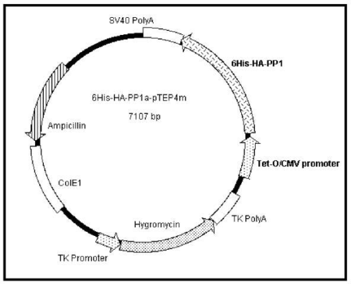 The 6His-HA-PP1α-pTEP4m plasmid. The plasmid contains the 6His-HA-PP1α fusion gene under the control of the TetO/CMV promoter. This promoter is active in the presence of the rtTA-nls protein and doxycycline. The plasmid contains an ampicillin resistance gene (Ampr) for selection in bacteria and the hygromycin resistance gene for selection in eukaryotic cells.