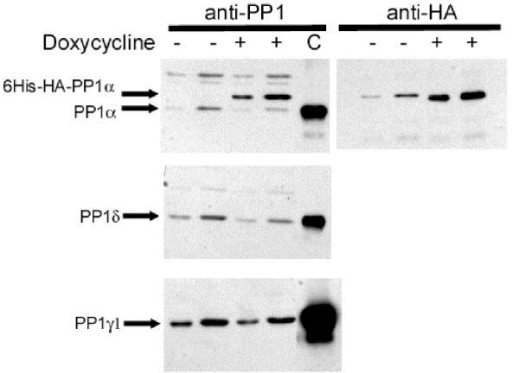Isoform-specific antibody detection of PP1 by western blotting induced and uninduced LLWO2F whole-cell lysates. Different amounts (5 ug for the first and third lanes, 10 ug for the second and fourth lanes) of lysate from induced and uninduced cells were separated by SDS-PAGE in parallel and then immunoblotted using PP1α-, PP1δ-, and PP1γ1-specific antibody. Results illustrate downregulation of endogenous PP1α in response to increasing amounts of induced 6His-HA-PP1α, while the levels of PP1δ and PP1γ1 remain relatively constant. Lane C – control lane of isoform-specific antibody immunoprecipitation of respective isoforms from 50 ug of uninduced cell lysate.