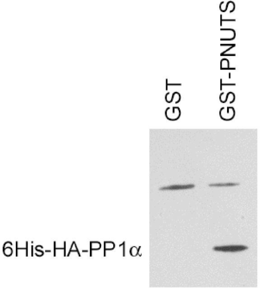 Coprecipitation of 6His-HA-PP1α with GST-PNUTS. Doxycycline-induced LLWO2F cell lysates were mixed with either GST or GST-PNUTS bound to glutathione-Sepharose beads, washed, and the bound proteins separated by SDS-PAGE and then immunoblotted with antibody to hemagglutinin. Position of 6His-HA-PP1α is indicated to the left of the panel, and is present only in the GST-PNUTS lane. The band above 6His-HA-PP1α, which is also present in the GST-alone lane, results from non-specific reactivity with the secondary antibody (horse-radish peroxidase-conjugated anti-IgG) used for chemiluminescent detection