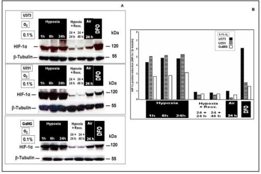 Nuclear protein expression of HIF-1α in human U373, U251 and GaMG glioblastoma cells after in vitro application of different hypoxic conditions. For experimental settings refer to Fig. 2. (A) Western-blots. β-tubulin served as loading control. (B) HIF-1α protein expression strength shown as bar graphs after densitometric evaluation and normalization to the corresponding β-tubulin expression. HIF-1α was strongly expressed after 1 h at 0.1% O2, and still increased for up to 24 h hypoxia. It showed stable reduced expression after up to 48 h reoxygenation. Similar data were obtained in three independent experiments.