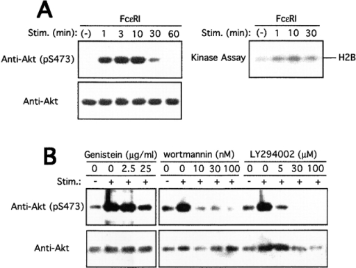 Activation of Akt in mast cells by growth factor or FcεRI stimulation. (A) BMMCs sensitized overnight with anti-DNP IgE were stimulated with 100 ng/ml DNP-HSA for the indicated amounts of time. Cells were lysed, and lysates were analyzed by SDS-PAGE followed by immunoblotting with antiphospho-Akt antibody that specifically recognizes the phosphorylated Ser-473 residue and its flanking sequence. The same blot was reprobed with anti-Akt antibody (left). Shown is the result representative of at least five independent experiments. Cell lysates were immunoprecipitated with anti-Akt, and immune complexes were subjected to kinase assays using histone H2B as an exogenous substrate (right). The kinase result is representative of three similar experiments. Stim., stimulation. (B) IgE-sensitized BMMCs were pretreated with the indicated concentrations of genistein, wortmannin, or LY294002 for 15 min before antigen (100 ng/ml DNP-HSA) stimulation (Stim.) for 10 min. Cell lysates were analyzed for Ser-473 phosphorylation as above.