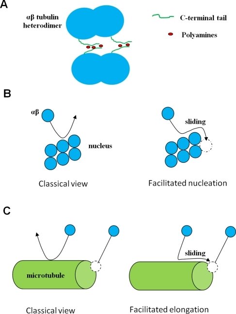 Schematic representation of the mechanism of facilitated diffusion.(A) Attraction between two tubulin heterodimers mediated by polyamines.The attraction is mediated by the two C-terminal tails of one tubulindimer, which, for entropic reasons (separation distance betweenthe two C-termini tails on a tubulin dimer), are likely toshare polyamines with two C-terminal tails of another tubulin dimer. (B)In the absence of an attraction force, many collisions between tubulinand nucleus do not result in association, whereas, in the presence of anattraction force, both facilitated diffusion via sliding and an increaseof the interaction lifetime favour association to the growing nucleus.(C) In the presence of an attraction force, sliding of tubulin along thecylindrical surface of MT favours tubulin association to the MTends.