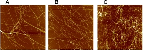 AFM images of microtubules assembled in the presence of variousconcentrations of spermidine in buffer M with 30 µMtubulin.Scan area: 8×8 µm2. (A) Control. (B)200 µM spermidine. (C) 800 µM spermidine.Microtubules formed in the presence of moderate concentrations ofspermidine (<400 µm) had a normalappearance without any tendency for bundling. Higher spermidineconcentrations lead to the apparition of shorter MTs and someaberrant structures (oligomers, aggregates, see also Figure 3).