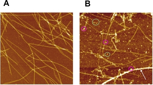 High resolution AFM images of microtubules in the presence of                                spermidine in buffer M.Scan area: 4×4 µm2. (A) 200                                µM spermidine. (B) 800 µM spermidine. At                                moderate spermidine concentrations (<400                                µM), long microtubules coexist with free tubulin                                dimers like in the absence of polyamines. Increasing polyamine                                concentration leads to the appearance of small tubulin oligomers or                                aggregates (green circles), microtubule bundles                                    (arrow) and smaller microtubules. Interestingly                                oligomers or aggregates can also be adsorbed on MT surface                                    (pink circles), as predicted for strong                                attractions (Regime III).