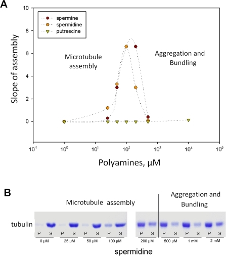 Effect of polyamines on the maximum slope of microtubuleassembly.The tubulin concentration (12 µM) waspurposely fixed to a value near the critical concentration in bufferM. (A) Both spermidine and spermine promote microtubule assembly atsubmilimolar concentrations whereas putrescine is unable to improvetubulin polymerization even at large concentrations(>1 mM). However, at high concentrationsof spermidine and spermine (>200µM), tubulin aggregates are formed which lowersthe apparent assembly slope leading to a bell-shape profile. (B) SDSpage analyses reveal that spermidine gradually increases the pelletmass. As observed by AFM, the increase of the pellet mass is due tomicrotubule formation at moderate spermidine concentrations(25–200 µM) but, at higherspermidine concentrations (0.5–2 mM),oligomers and (or) tubulin aggregates are also observed andparticipate to the increase of the pellet mass. The dashed linerepresents the transition between the zones of microtubule assemblyand tubulin aggregation.