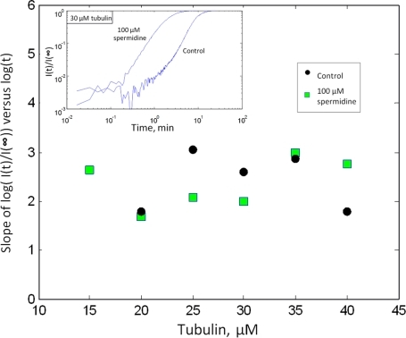 Scaling properties and nucleus size in the presence ofspermidine.Initial slope of log[(I(t)/I(∞)] versus tubulinconcentration. This slope is an interesting indicator of the numberof tubulin dimers in the critical nuclei. The mean slope overtubulin concentrations is similar with or without spermidine, 2.36and 2.32 respectively. Spermidine may then not affect the criticalsize of the nucleus but this remains to be demonstrated with a validtheory. Inset: examples of log–log plotof [(I(t)/I(∞)]. Theslopes were extracted at early times when the curves display astraight line.